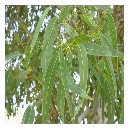Eucalyptus 1 oz.