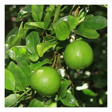 Lime, 1 oz.