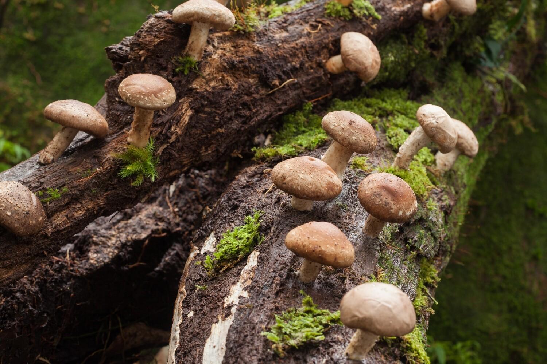 Shitake Mushroom Powder