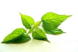 Patchouli Leaves