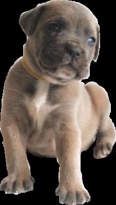 Companion Puppy Deposit