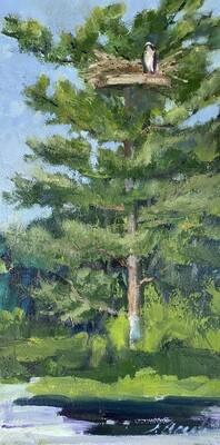 Osprey in White Pine