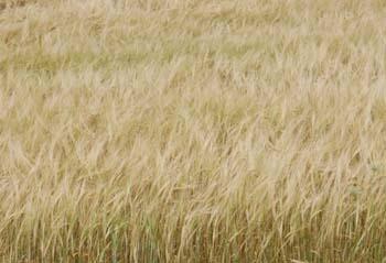Wheat in Field 220