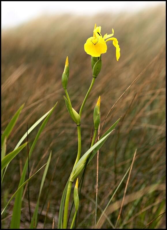 Wild Iris - Ilwaco, WA