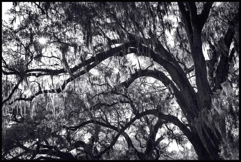 Live Oak with Spanish Moss, Audubon Park - New Orleans, LA