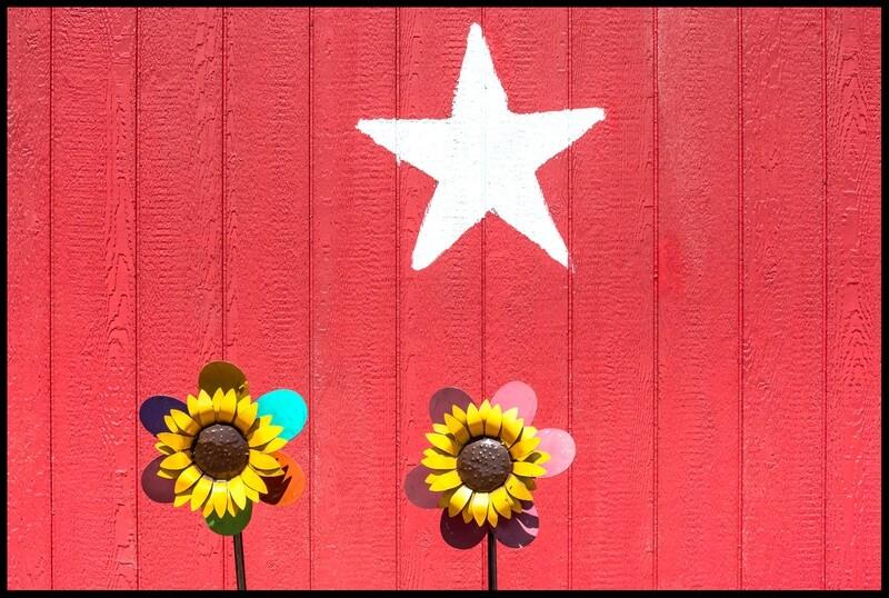 Sunflowers - Fredericksburg, TX