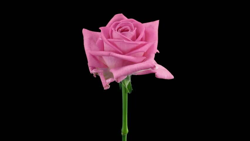 Роза Аква (Россия) 60 см