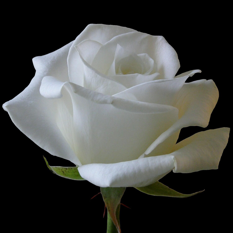 Роза Белуга (Россия) 60 см