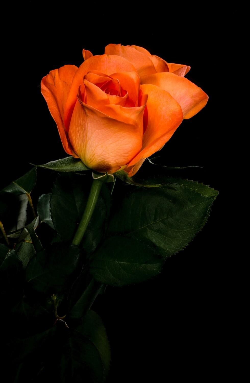 Роза Вау (Россия) 60 см