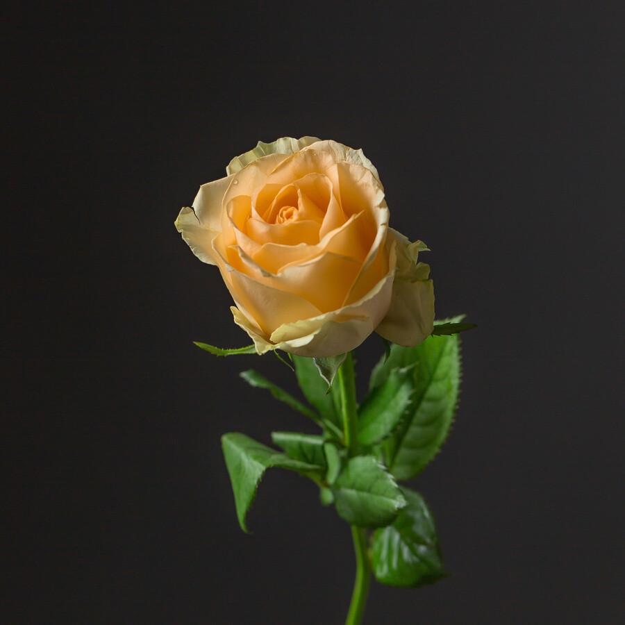 Роза Пич Аваланж (Россия) 60 см