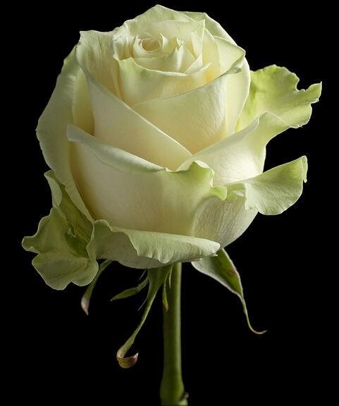 Роза Мондиаль (Эквадор) 60 см