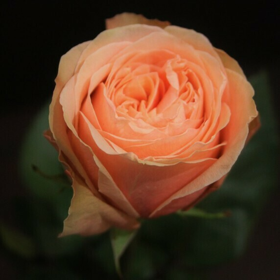 Роза Кахала (Эквадор) 60 см