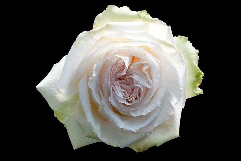 Роза Вайт Охара (Эквадор) 60 см