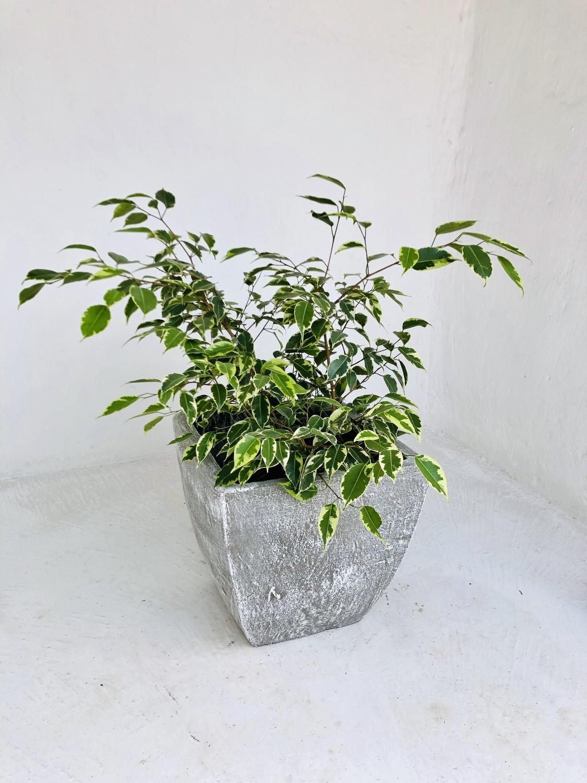 Square Bulge Cactus Pot Medium Whitewash Finish - H300mm x W300mm - 10kg