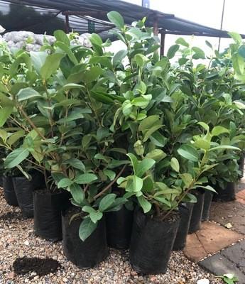 Viburnum Odoratissimum 10 liter bush nice plants
