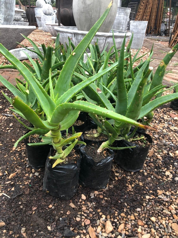 Aloe Arborescens Yellow 5 liters