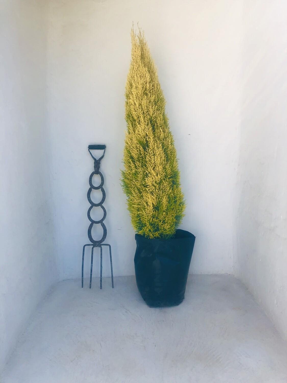 Cupressus macrocarpa 'Wilma' 40 liters