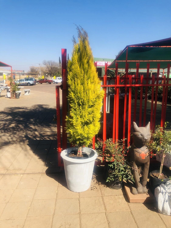Cupressus macrocarpa 'Goldcrest' 40 liters