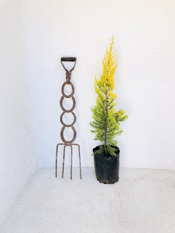 Cupressus macrocarpa 'Donard Gold' 10 liters