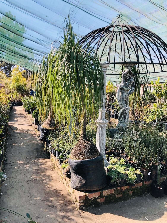 Ponytail Large Palms 80 liters