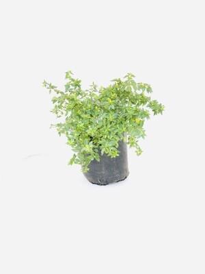Abelia grandiflora 10 liter