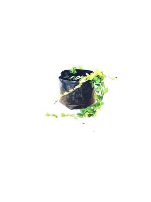 Tickey Creeper Ficus pimula 2liter