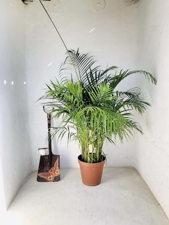 Bamboo Palm 30cm Pot! Large Plants!!!