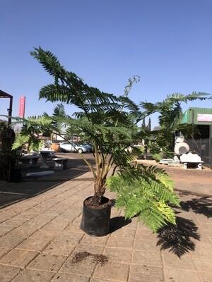 Cyathea brownii Tree fern 40 liter
