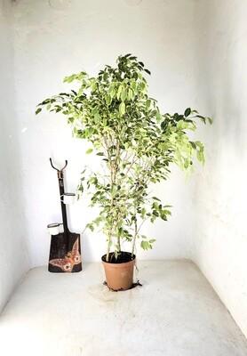 Ficus Benjamina 'Golden King' 25cm Pot