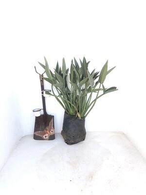 Strelitzia reginae 'Mandela's Gold' 20 liter