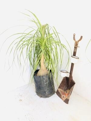Ponytail Palms 20 liters