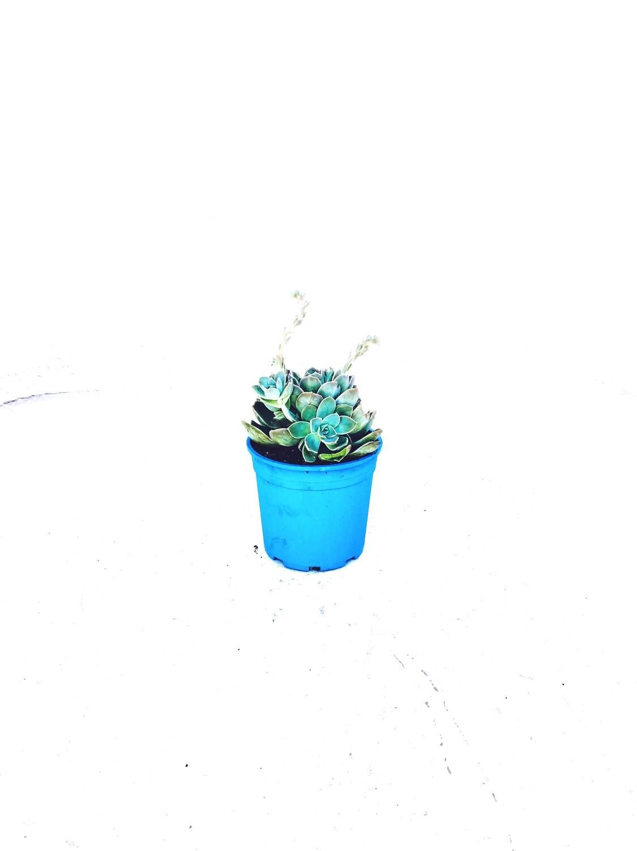 Echeveria elegans 'Rock Rose' 17cm pot