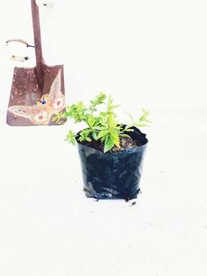 Abelia grandiflora 2 liter Landscaping