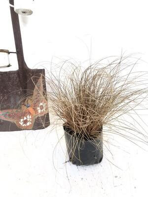 Carex bronze 2 liter Landscaping