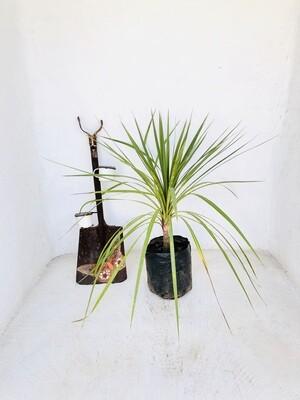 Cordyline australis 10 liter