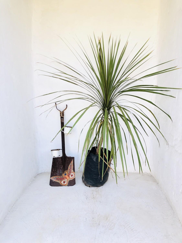 Cordyline australis 20 liter