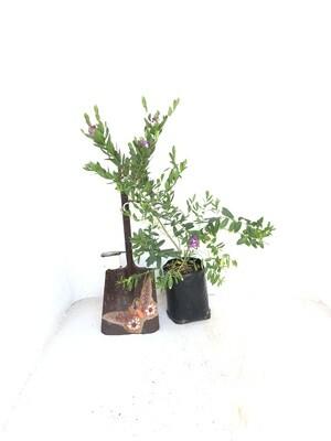 Polygala myrtifolia 10 Liter