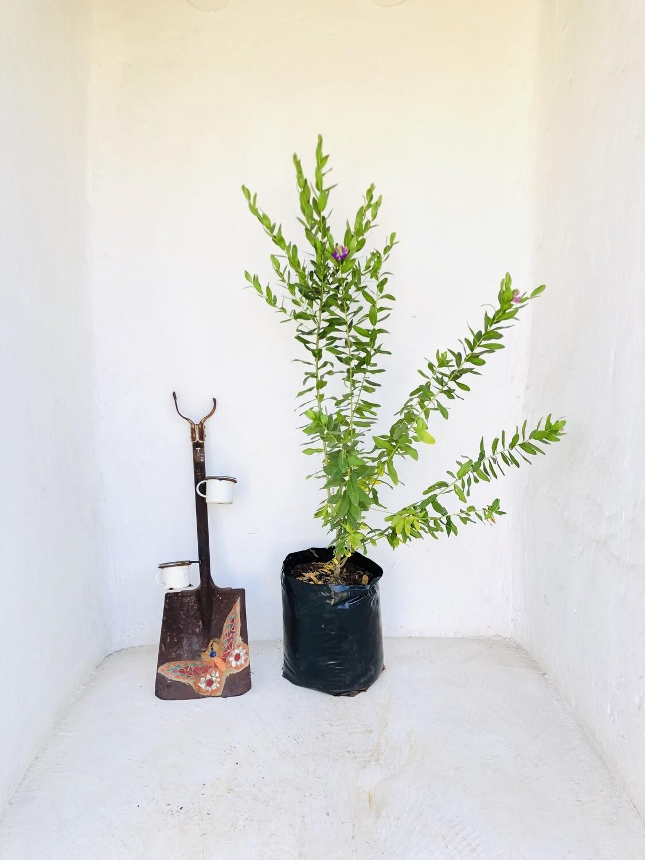 Polygala myrtifolia 20 Liter