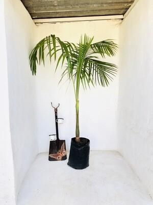 Seaforthia Palm 20 Liter