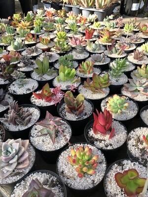 Succulent 7.5cm mixed each