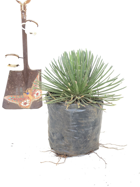 Agave geminiflora 10 liter