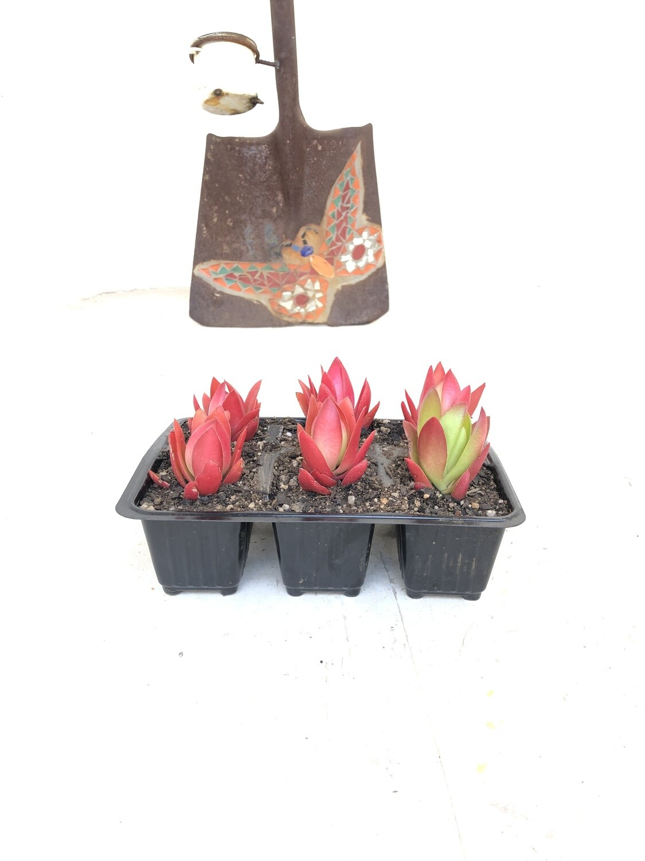 Crassula captitella 'Campfire' 6 pack