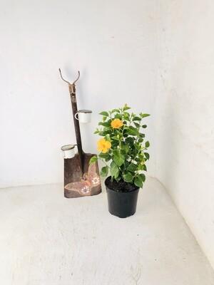 Hibiscus 23cm Pot 'Yellow'