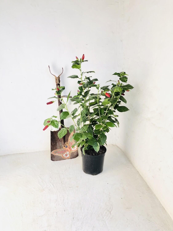 Hibiscus 23cm Pot ' Large red Flower'