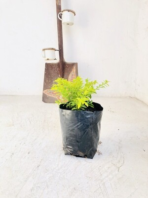 Cuphea Cocktail Gold 2L Landscaping