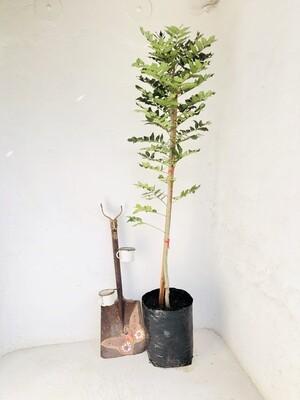 Harpephyllum caffrum 'Wild plum' 20 liters