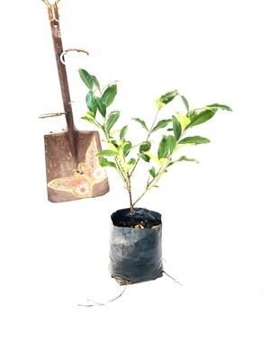 Gardenia Belmont 4L Landscaping