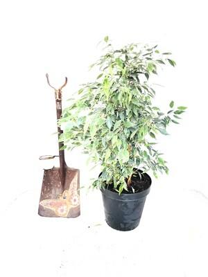 Ficus Lemon Lime Bush 25cm Pot
