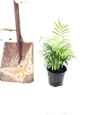 Love Palm 14cm Pot