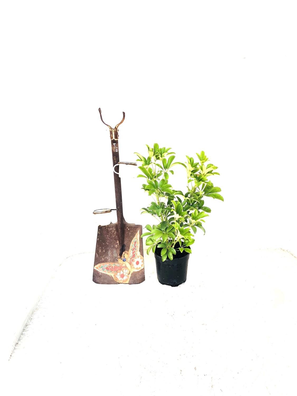 Schefflera 19cm Pot